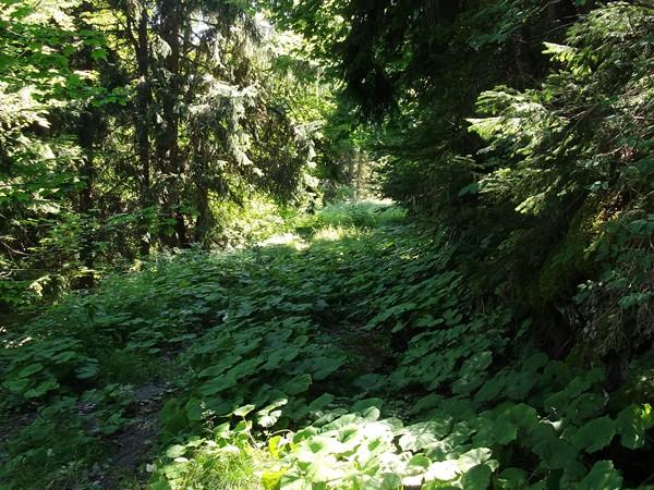 Sur l'ancienne route - le goudron est recouvert d'une incroyable végétation !